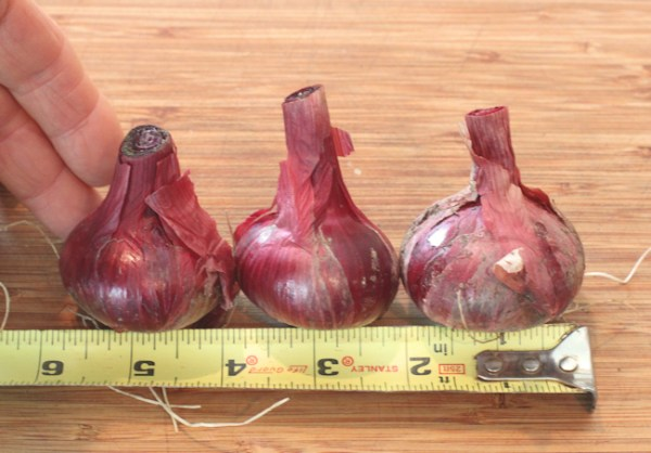 Red Marble onions