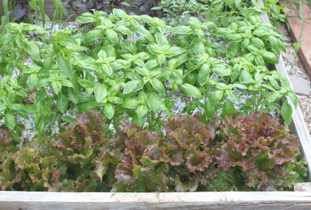 Red Sails lettuce hanging out with basil