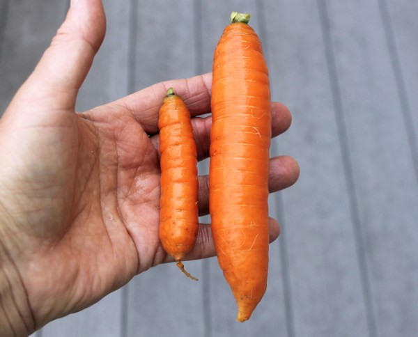 Baby Babette carrot compared to larger Nelson