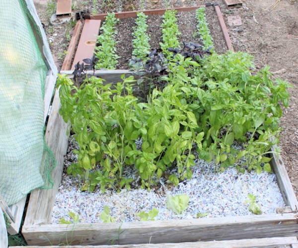 basil bed after cleanup