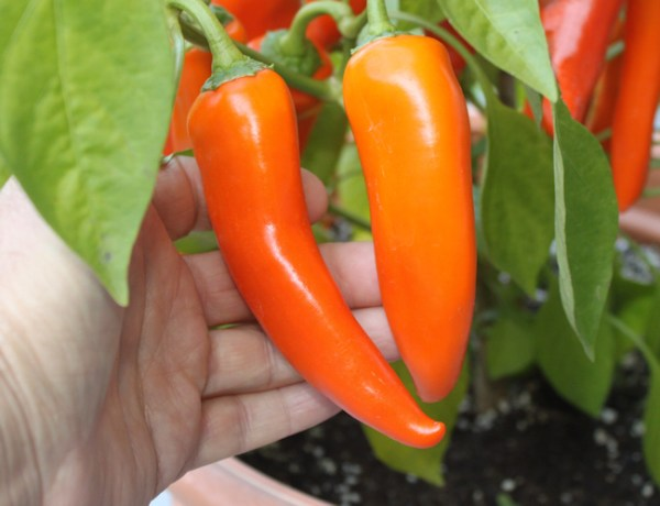 ripe orange Hot Happy Yummy peppers