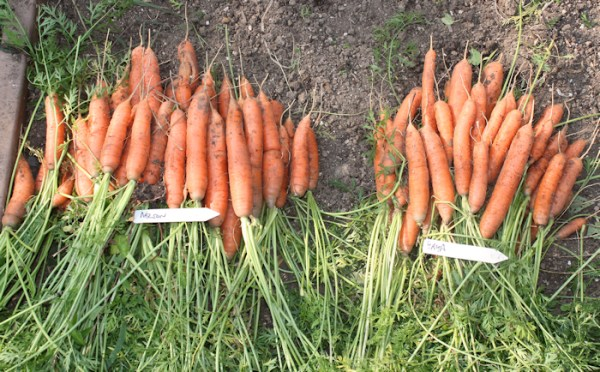 Nelson(L) and Yaya(R) carrots