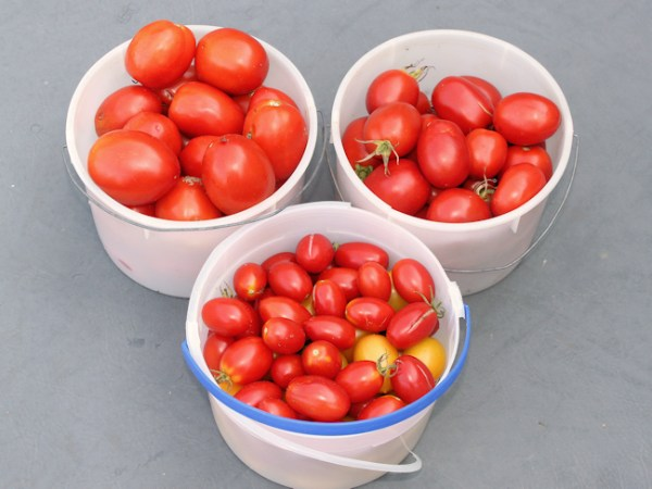 harvest of paste type tomatoes