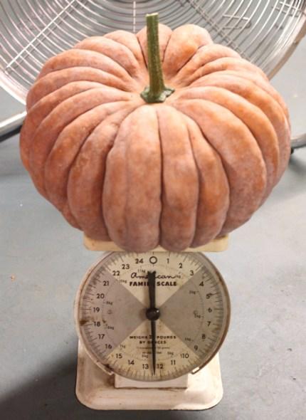 weighing the Black Futsu squash