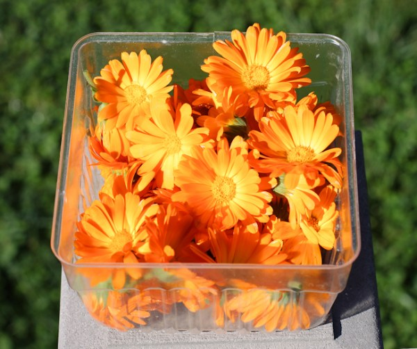 calendula flowers for drying