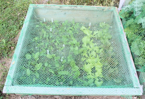 cold frame covered with bird netting