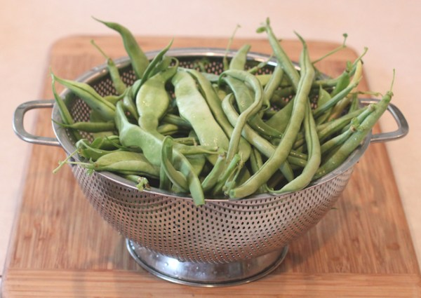 October harvest of Fortex and Musica pole beans
