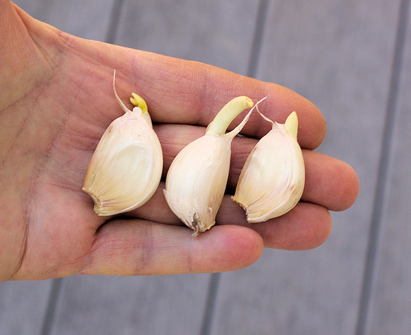 sprouting garlic for green garlic