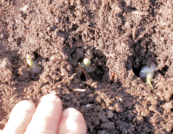green garlic after planting