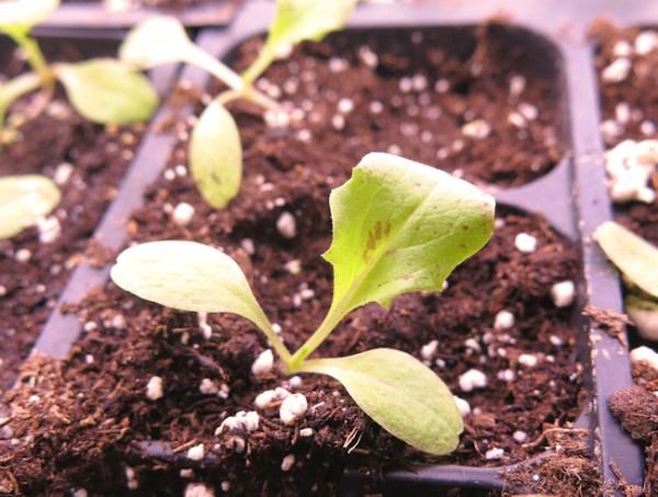 Red Sails lettuce seedling