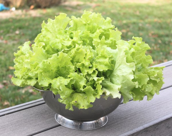 harvest of Simpson Elite lettuce