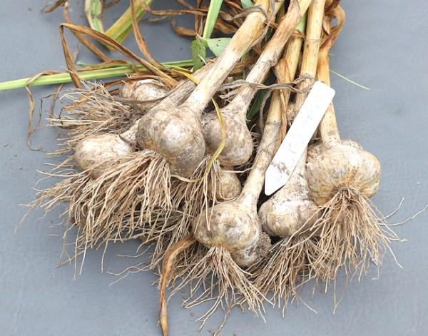 Siciliano garlic harvest