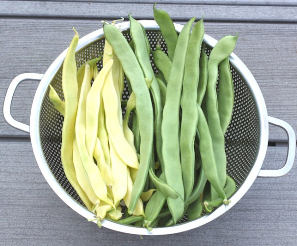 Gold Marie and Musica pole beans