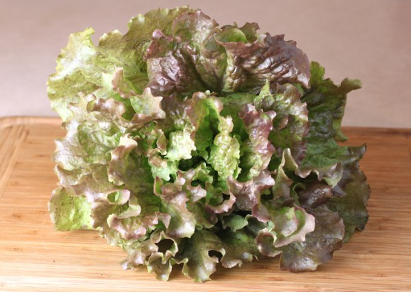 head of Red Sails lettuce
