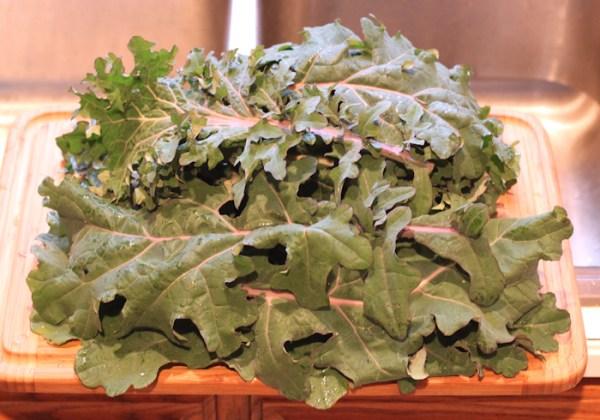 late December harvest of Red Ursa kale
