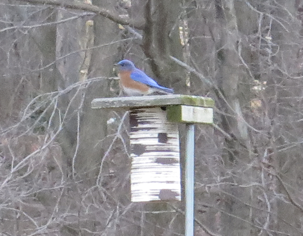 male bluebird checking out the nest box