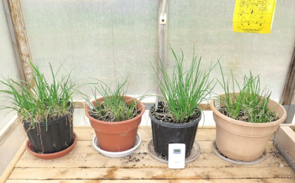 potted chive plants