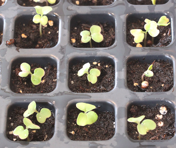 kohlrabi seedlings