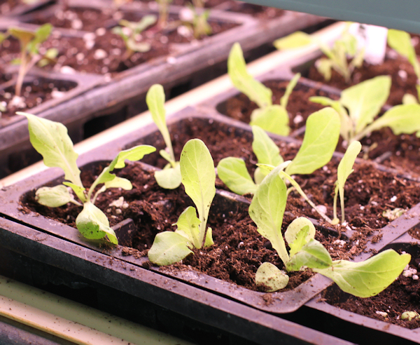 young Baby Oakleaf lettuce plants