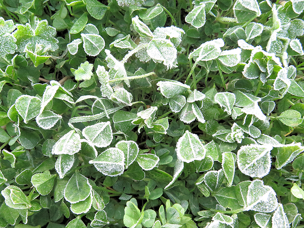frost on the clover