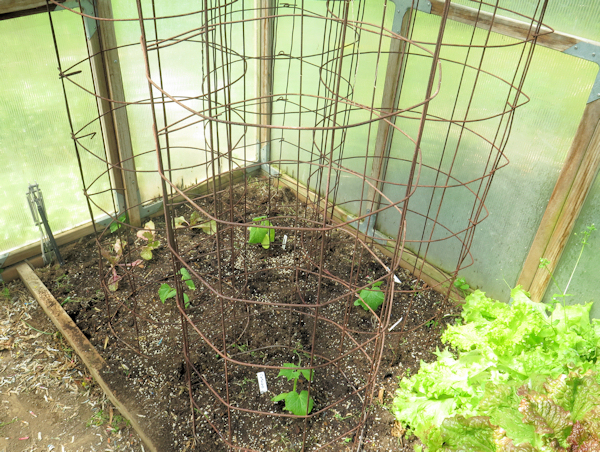 cucumbers in greenhouse bed