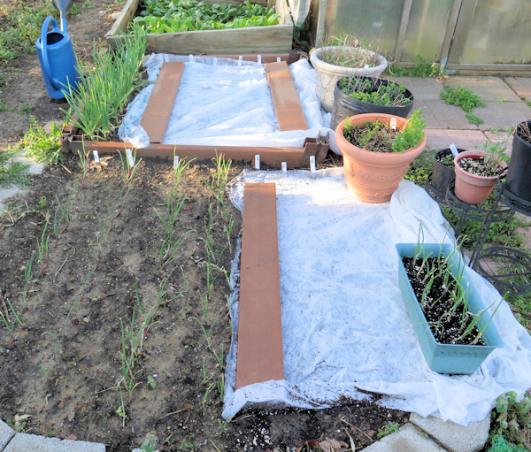 carrot seedbeds covered with row cover material