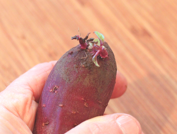 purple sweet potato starting to sprout