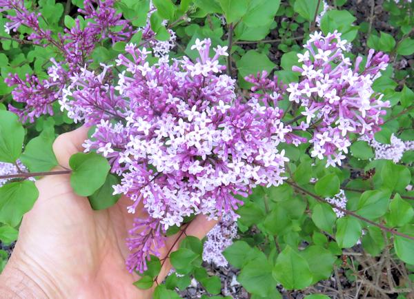 Dwarf Korean lilac blooms