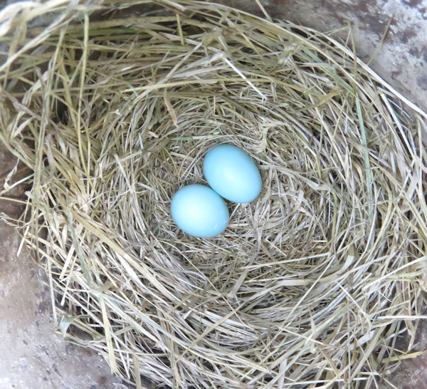 bluebird nest with 2 eggs
