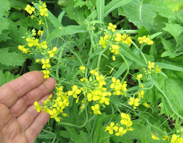 Cima di Rapa flowering