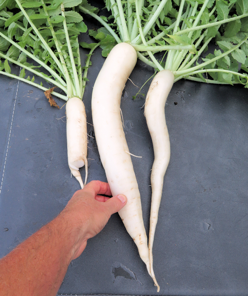 April Cross radishes
