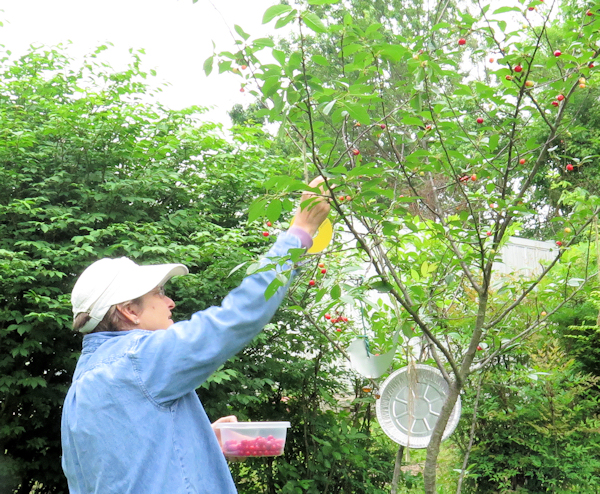 harvesting our cherries
