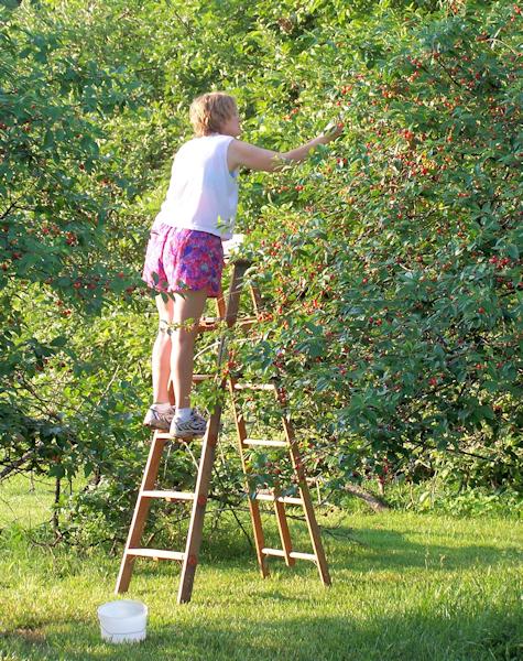 Lynda picking cherries at my old farm