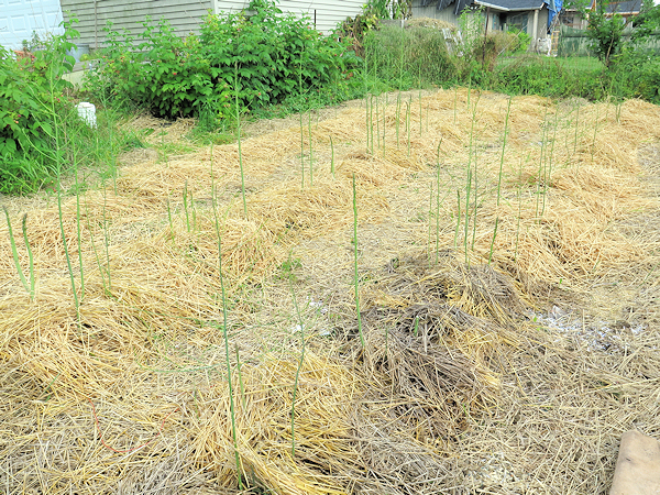 asparagus bed after mulching