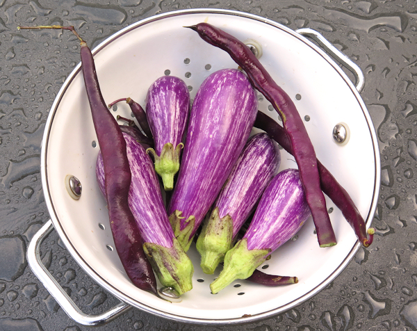 Fairy Tale eggplant and Trionfo Violetto beans