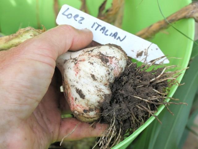 tLorz Italian bulb right after digging