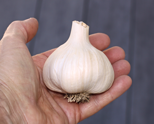 German Red garlic