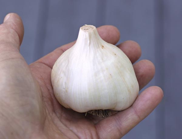bulb of Idaho Silver garlic