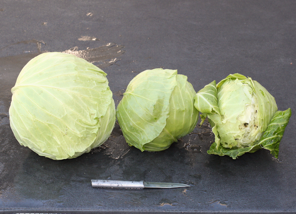 KY Cross, Farao and Parel cabbages