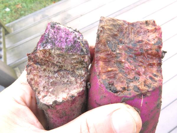 vole damage to Purple sweet potato
