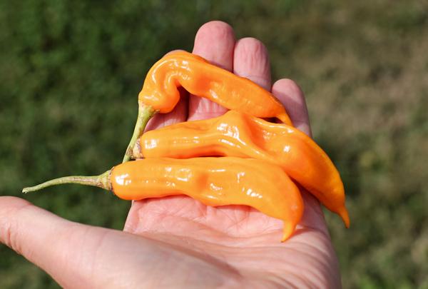 Aji Golden peppers