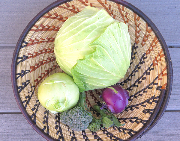 late season cabbage, kohlrabi and broccoli