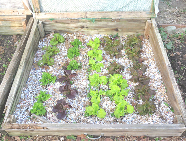 cold frame #1 with lettuce