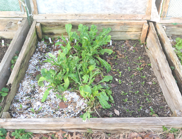 cold frame #2 with arugula and spinach