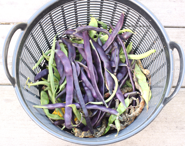 October harvest of pole beans