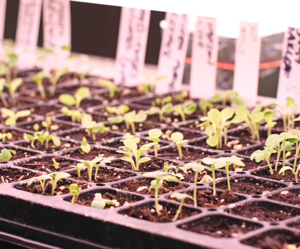 seeds coming up under grow lights
