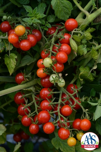 Tomato Candyland Red