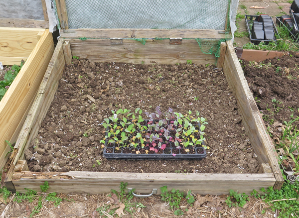 cold frame bed ready for kohlrabi