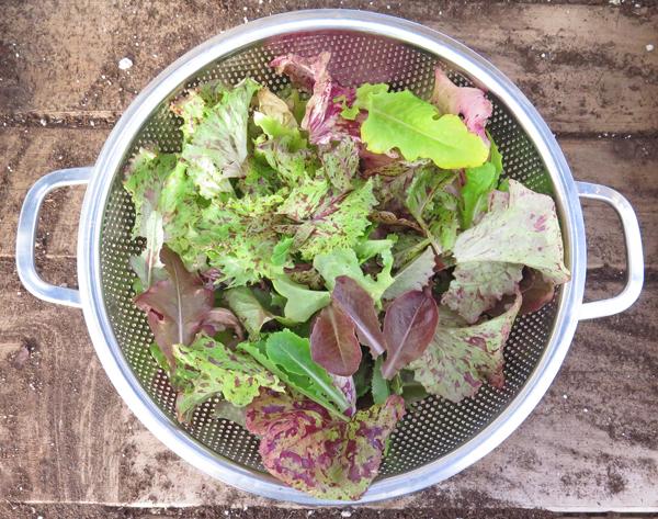 harvest of Wild Garden Lettuce Mix
