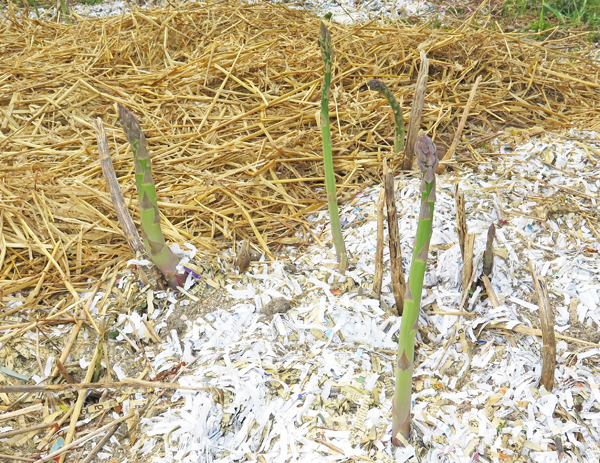 asparagus spears waiting to be harvested